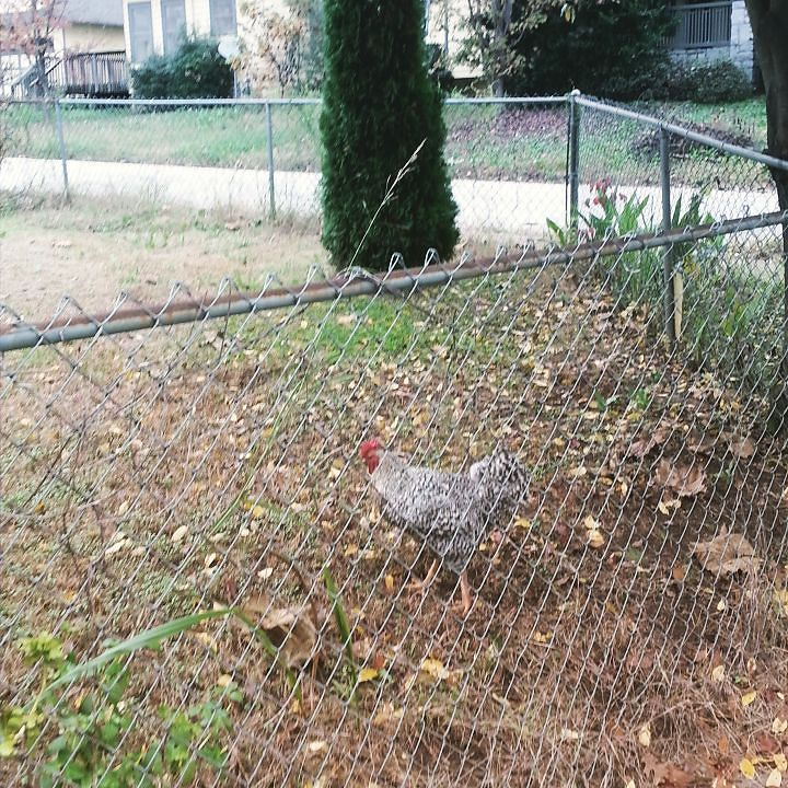 The Rooster of Ormewood Park, Atlanta