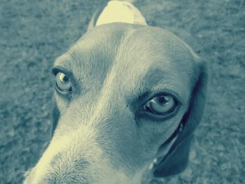 A Beagle Close Up