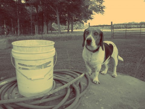 A Beagle On The Farm