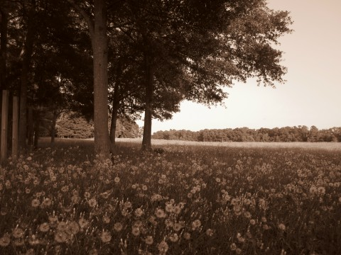 A Field With Dandelions