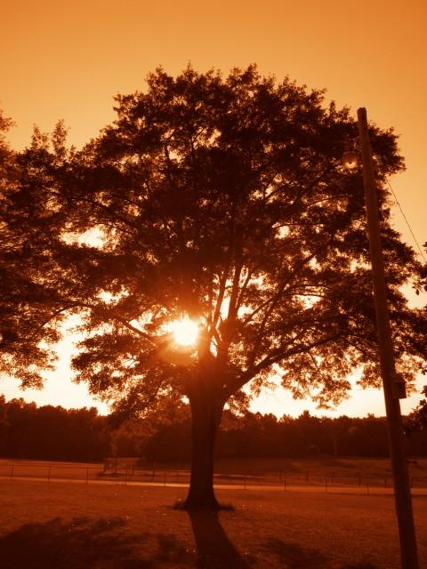A Sun Shining Past An Oak