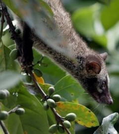 Civet Cat Eats and Poops Coffee Beans To Make Kopi Luwak