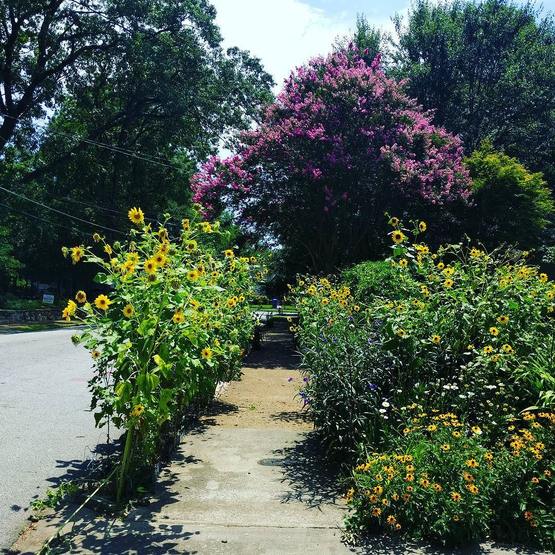 Ormewood Park Sunflowers