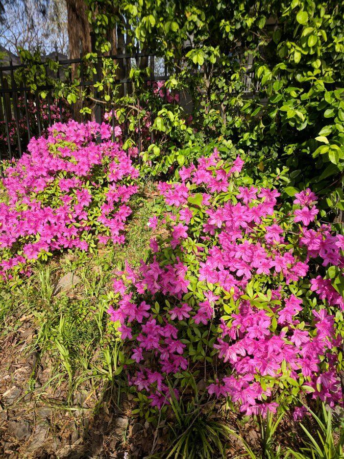 Spring Azaleas 1