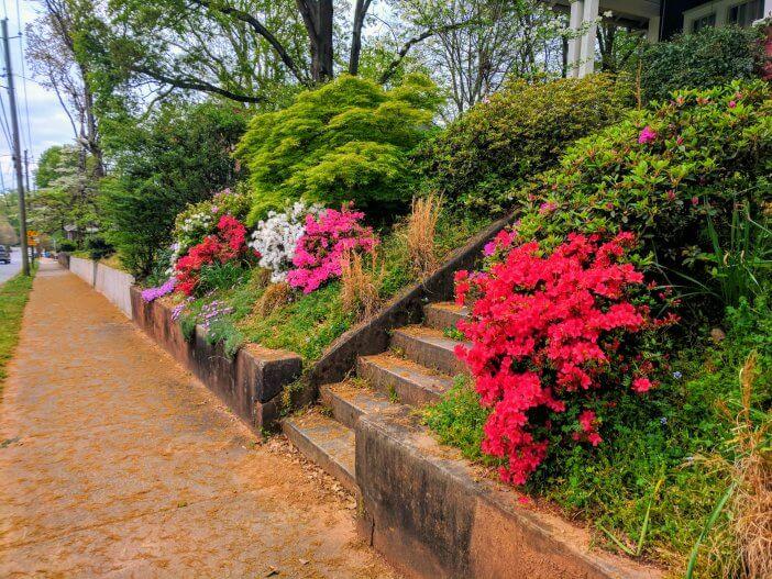 Spring Azaleas 04 2019